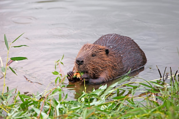 Funny brown american beaver (genus castor) sits on the shore of the pond and eats food