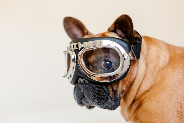 Funny brown french bull dog on bed wearing aviator goggles. travel concept. pets indoors and lifestyle