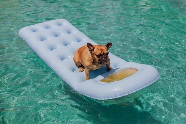 Funny brown french bulldog sitting on an inflatable pad and relaxing at the swimming pool. holidays, relax and vacation with dogs concept