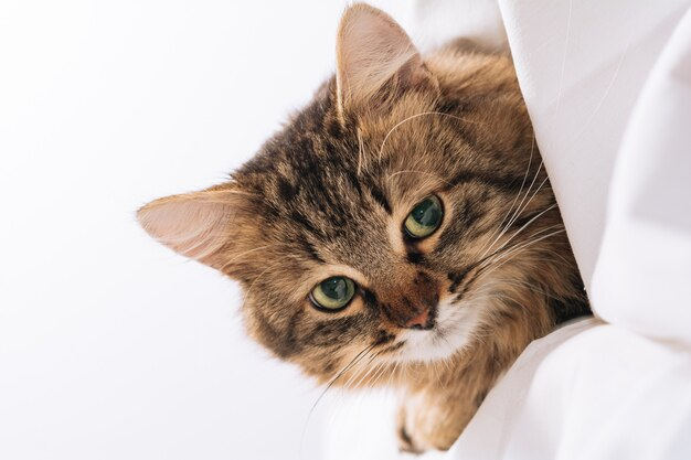 Забавный коричневый полосатый милый зеленоглазый котенок лежит под белым одеялом и простынями
