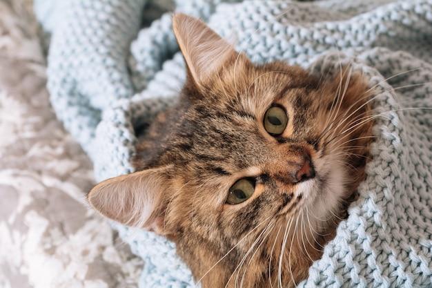 Забавный коричневый полосатый милый зеленоглазый котенок лежит на кровати, завернутый в синий плед