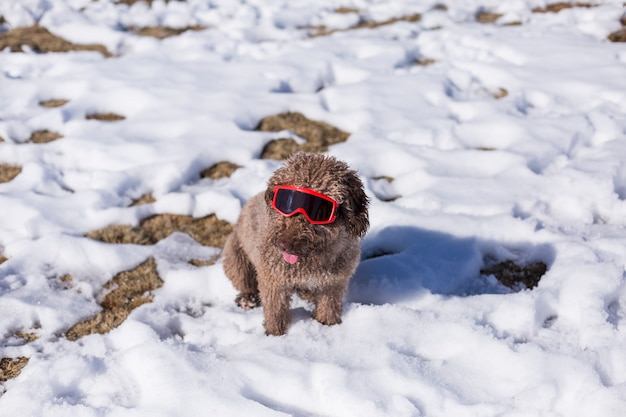 Funny brown water dog wearing red ski goggles in the snow. sunny weather. pets outdoors