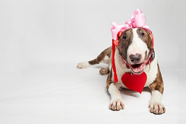 Смешная собака бультерьера сидя с красным бумажным сердцем и розовым бантом в день валентинки.
