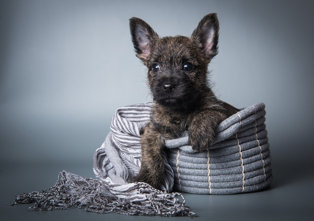 Funny cairn terrier puppy dog