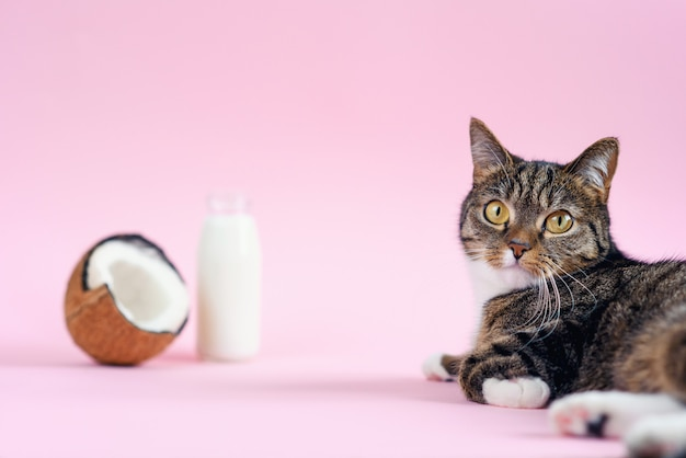 Funny cat lying and lookin at the camera near coconut milk in the bottle and fresh coconut on pink background.