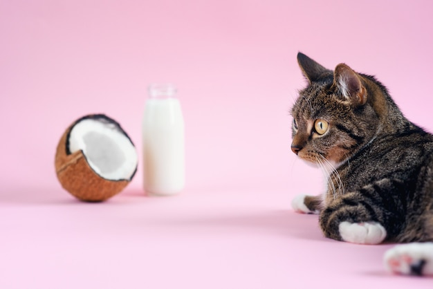 Funny cat lying near coconut milk in the bottle and fresh coconut on pink background.