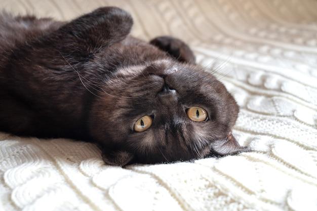Забавный кот лежал на спине на белом вязаном одеяле с поджатыми лапами крупным планом портрет