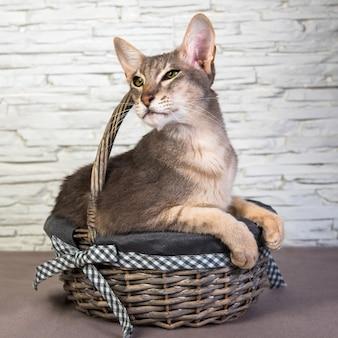 かごの中の面白い猫オリエンタル