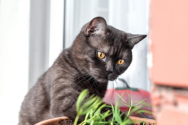 Funny cat touches the seedlings growing in a flower pot