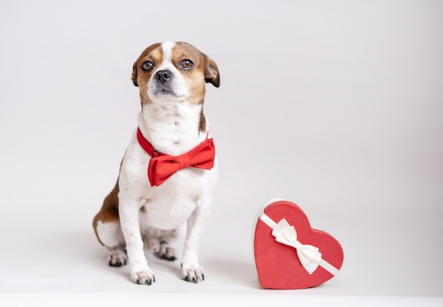 Funny chihuahua dog in bow tie with red heart gift box white ribbon grey