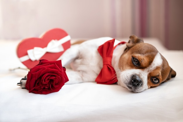 Funny chihuahua dog in bow tie with red heart gift box white ribbon lying and rose in white bed. big devoted eyes. valentine day.