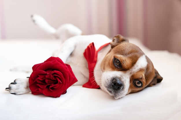 Funny chihuahua dog in bow tie with red rose lying on one side in white bed. devoted eyes. valentine day.