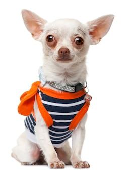 Смешная собака чихуахуа одетая