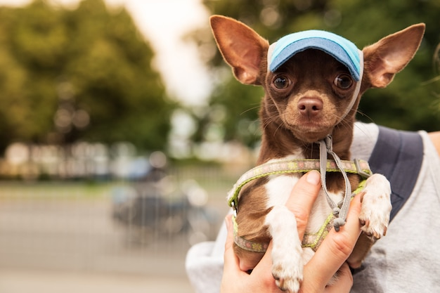 Funny chihuahua dog in panama hat or baseball on the green sunny summer background