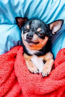 ベッドの枕の上で寝ている面白いチワワ犬。チワワは枕の上の毛布の下で眠ります。