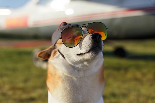 草の背景にパイロットスーツを着た柴犬の面白いクローズアップ写真