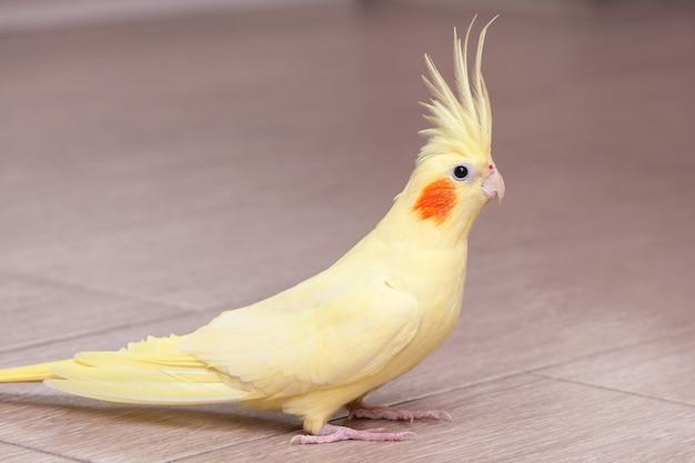 Забавный желтый попугай корелла на полу дома.