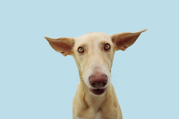Смешное замешательство или дискомфорт на лице собаки с приплюснутыми большими ушами. изолировано на синем пространстве.