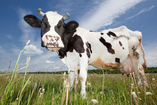 Funny cow in a blue sky with white clouds background