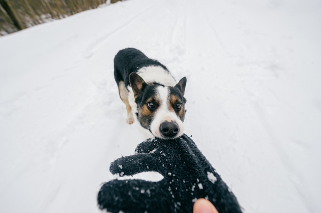Funny crazy dog pulling owner hand on winter  snowy road. domestic breeding pet playing with wool glove outddor.