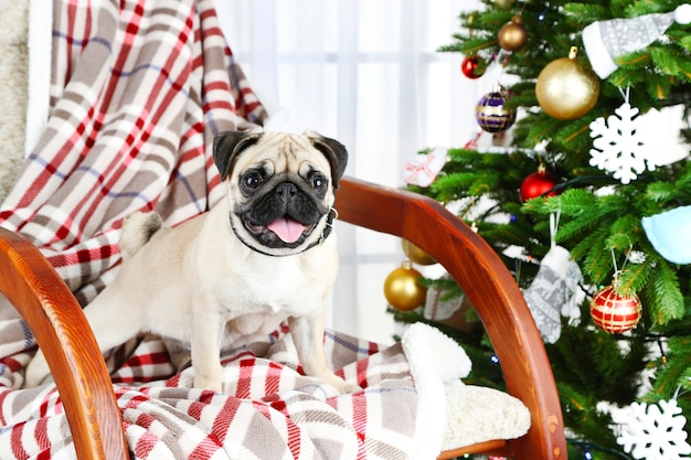 Забавный, милый и игривый мопс на кресле-качалке возле елки на светлом фоне