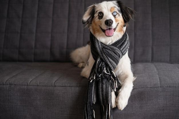 縞模様のスカーフを身に着けている面白いかわいいオーストラリアンシェパードブルーメルル犬。冬、秋の居心地の良いムード。ソファのソファに横になっています。