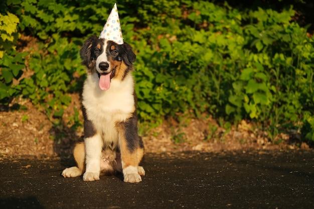 재미있는 귀여운 호주 양치기 강아지 파티 모자를 쓰고 있습니다. 생일 축하. 집 밖의.