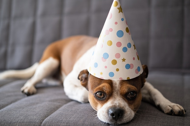 大きな茶色の目を持つ面白いかわいいチワワ犬。パーティーハットの誕生日の犬。誕生日おめでとう。