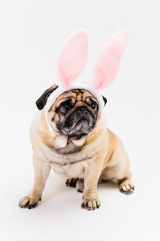 Funny cute grim pug in pink bunny ears