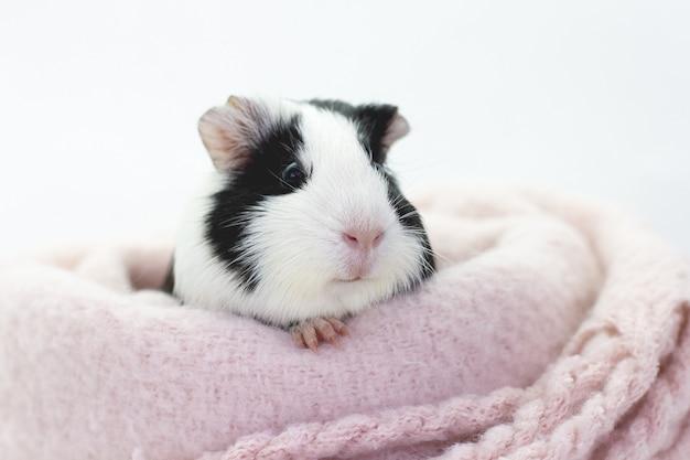Забавная милая морская свинка прячется в вязаном шерстяном розовом шарфе