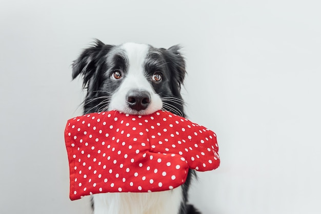 Funny cute puppy dog border collie holding kitchen pot holder, oven mitt in mouth isolated on white