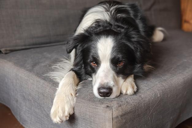 Забавный милый щенок бордер-колли, лежа на диване у себя дома в помещении, собака отдыхает, готовая спать ...