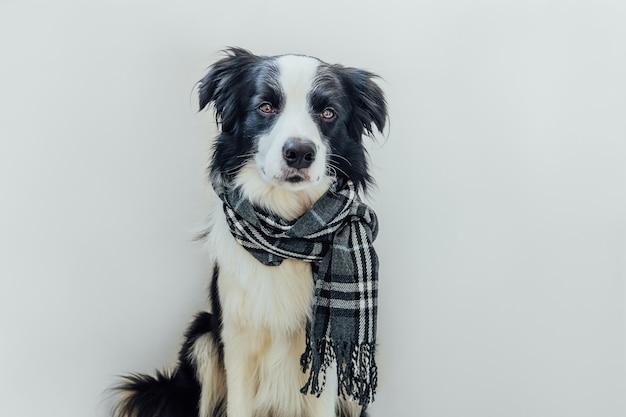 Забавный милый щенок бордер-колли носить теплую одежду шарф вокруг шеи, изолированные на белом фоне. зимний или осенний портрет собаки. привет, осень, осень. концепция холодной погоды hygge настроение.