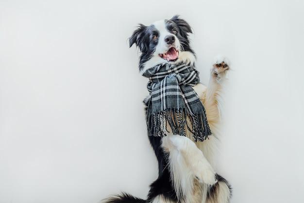 흰색 배경에 격리된 목에 따뜻한 스카프를 두른 재미있는 귀여운 강아지 보더 콜리. 겨울 또는 가을 개 초상화입니다. 안녕하세요 가을 가을입니다. hygge 무드 추운 날씨 개념입니다.