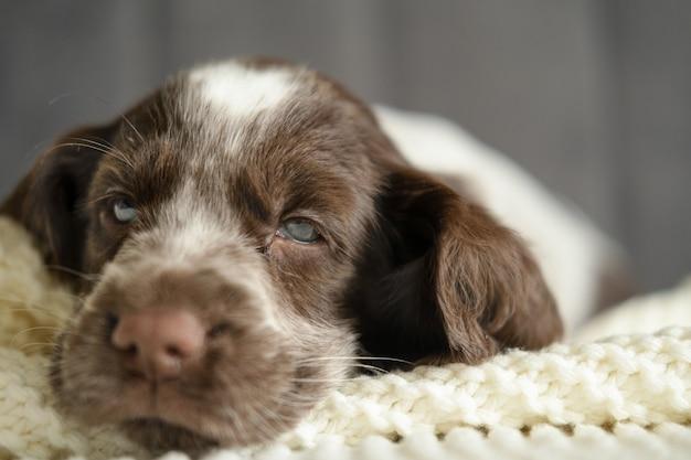 재미 있고 귀여운 러시아 발 바리 갈색 멀 파란 눈 강아지 소파에 누워. 애완 동물 관리 및 친절한 개념. 아가.