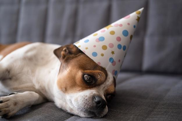 Забавная милая грустная собака чихуахуа. именинница в шляпе партии. с днем рождения.