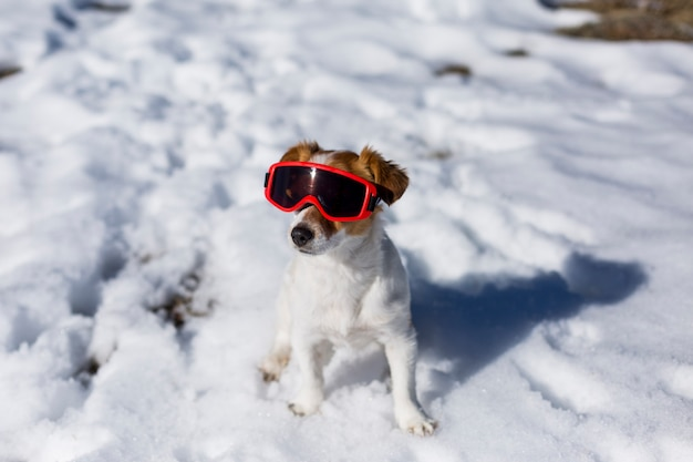 Funny cute small dog wearing red ski goggles in the snow. sunny weather. pets outdoors