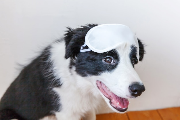 Funny cute smiling puppy dog border collie with sleeping eye mask at home indoor background