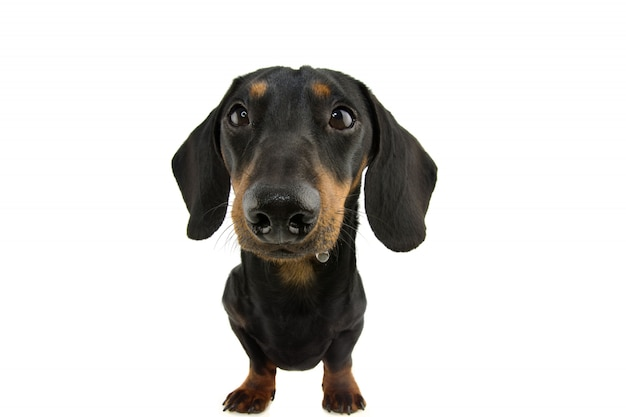 Funny dachshund dog drooling. isolate on white wall.