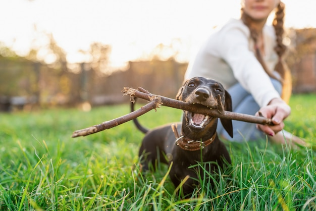 Funny dachshund playing with her owner in the grass