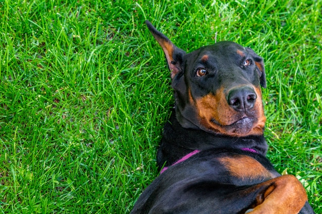 Funny doberman pinscher lies on the grass