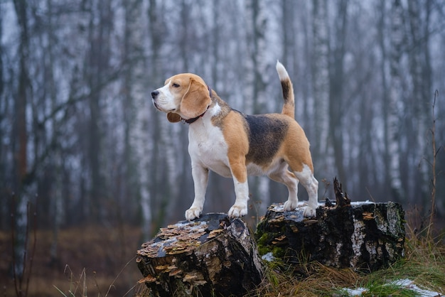 Funny dog breed beagle for a walk in the winter