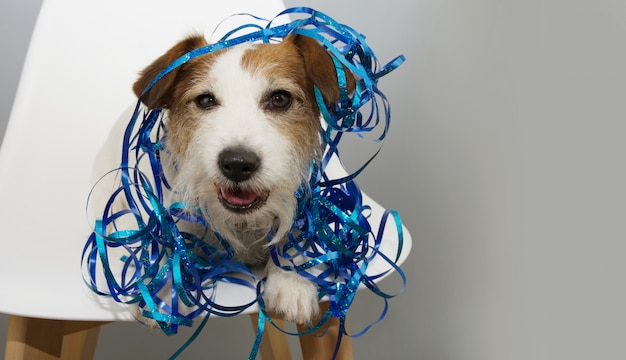 Funny dog celebrating new year, birthday or canival with blue serpentines sitting on a scandinavian white chair.