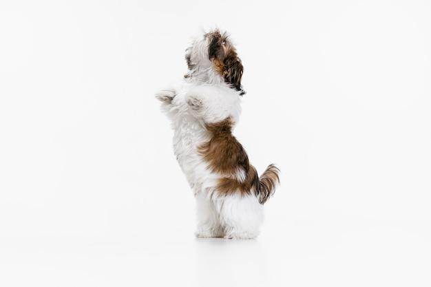 白で隔離される面白い犬