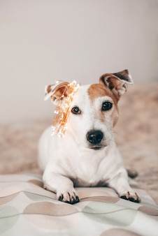 Funny dog jack russell with a christmas sparkling garland on his head, ready for the masquerade. preparing for christmas and new year. celebrating at home. lifestyle.