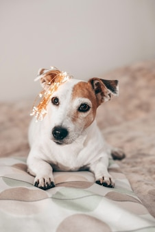 Funny dog jack russell with a christmas sparkling garland on his head