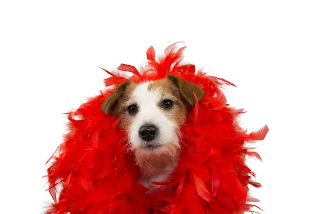Funny dog in mardi gras carnival red feather boa.