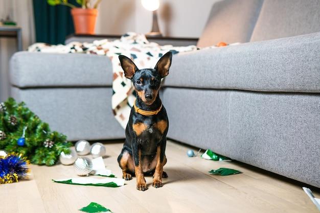 재미있는 개 미니어처 핀셔가 방을 엉망으로 만들고 크리스마스 트리를 가지고 놀다