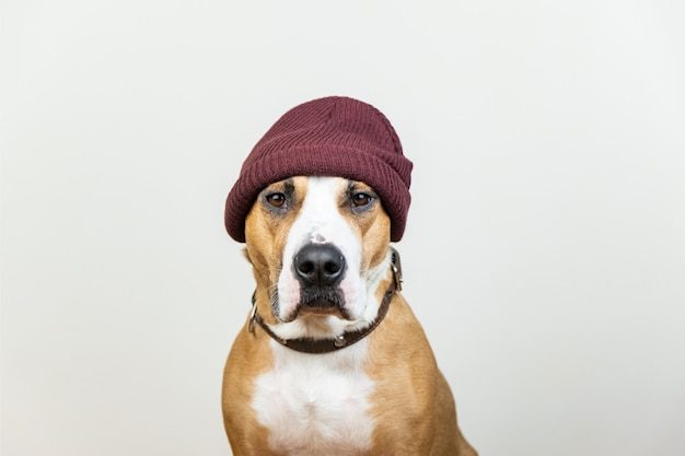 Funny dog portrait in red hipster knit hat. staffordshire terrier looks at camera, winter accessories or seasonal concept