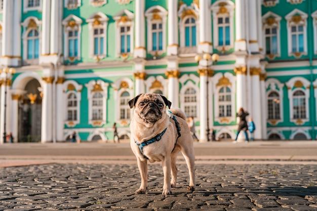ハーネスの面白い犬のパグは、街の通り、サンクトペテルブルクの観光名所を歩きます